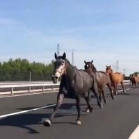 Atların otoyoldaki özgürlük koşusu