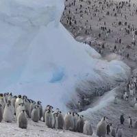 Büyük facia Binlerce penguen boğularak öldü!