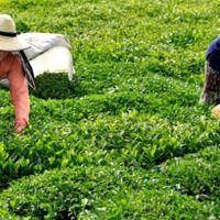 Doğu Karadeniz'den 6,3 milyon dolarlık çay ihracatı