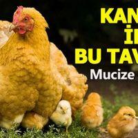 Kanser ilacı yumurtlayan tavuk