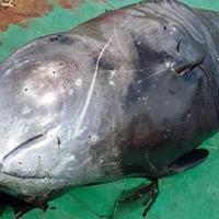 Kıyıya vuran balina çöp poşeti yüzünden ölmüş