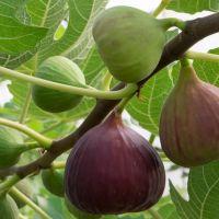 Kuru incir ihracatı 250 milyon dolara koşuyor