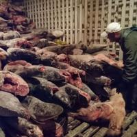 Nesli tükenmekte olan köpek balıklarını avlayan Çinliler tutuklandı