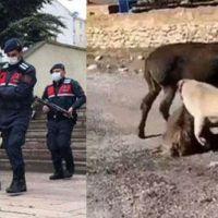 Sıpayı köpeklere öldürten şahıs serbest bırakıldı
