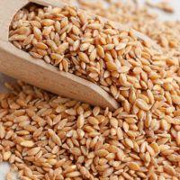 Siyez Buğdayı nedir   nerelerde kullanılır   besin değeri ne kadardır   nereden bulunur