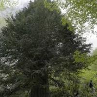 Zongultak'ta 4112 yaşında porsuk ağacı bulundu