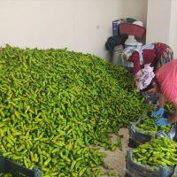 """""""Mardin'de sebze yetişmez"""" algısını kırarak atıl arazide 1500 ton domates, biber yetiştirdi"""