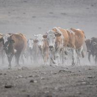 Kars'ta süt ineklerinin tozlu yolculuğu