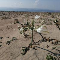 Mersin'de kum zambaklarını koparmanın cezası 73 bin lira