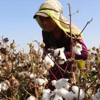 Pamuk diyarı Şanlıurfa'da hasat zamanı