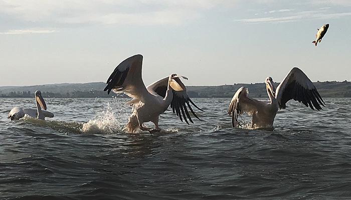 Avladığı balıkları pelikanlara veriyor