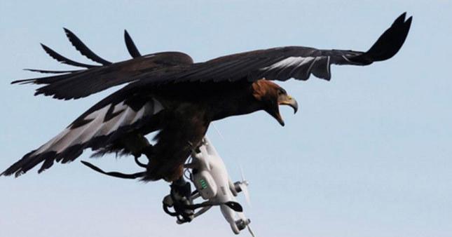Kartallar drone avlayacak!