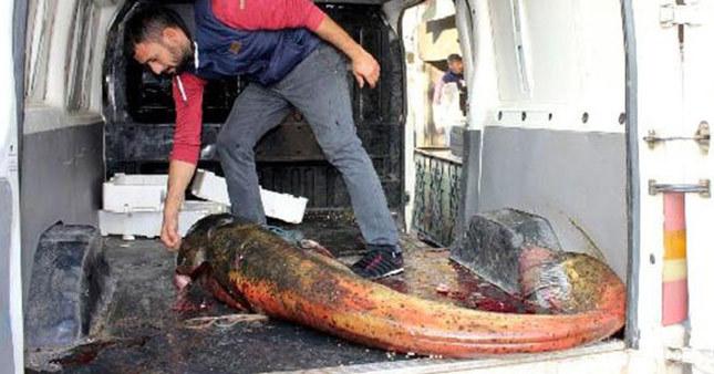 Nehirde 110 kiloluk yayın balığı yakaladı