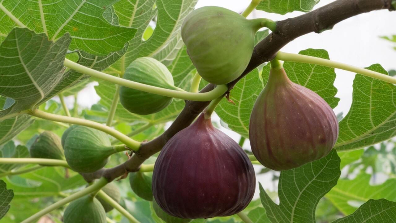 Taze incir ihracatında hedef 75 milyon dolar