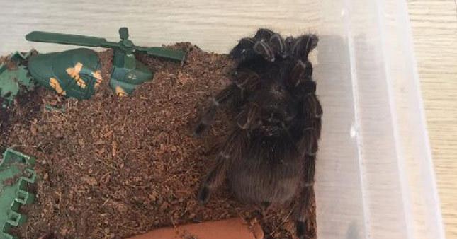 Terör operasyonunda 15 tarantula ele geçirildi