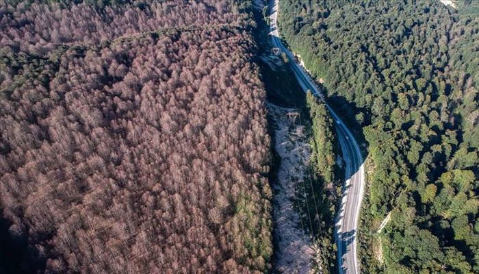 Tırtıllar ormandaki ağaçları yapraksız bıraktı