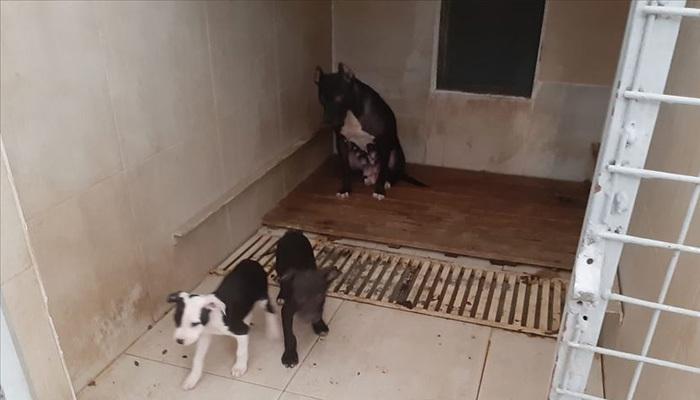 Van'da pitbull besleyen kişiye rekor ceza