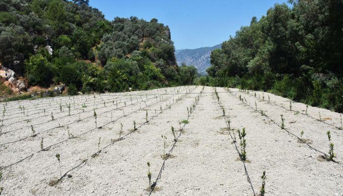 Muğla'da defnenin yaprağı ve yağı gelir kapısı olacak
