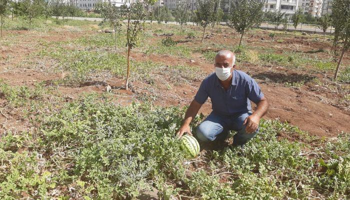 Diyarbakır Bağlar Belediyesinin yetiştirdiği organik meyveler ihtiyaç sahiplerine dağıtıldı