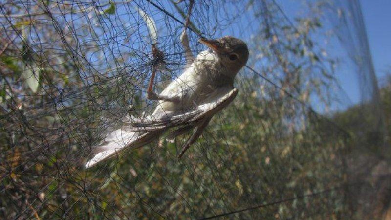 Kıbrıs'ta 800 bin kuş öldürüldü A24