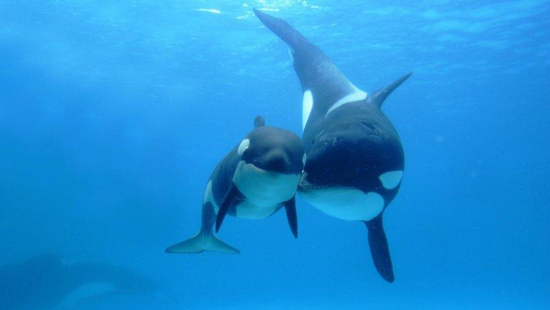 Mavi balinanın dev kalbi A24