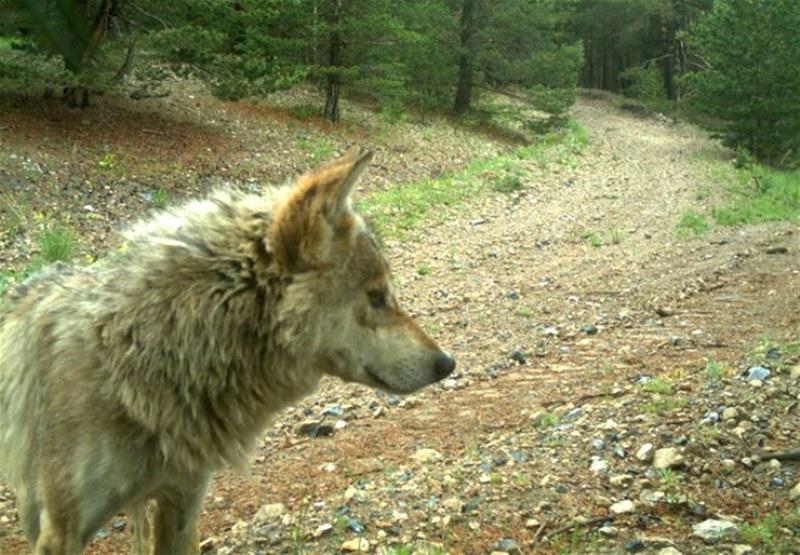 Kars'ın Sarıkamış ilçesindeki ormana kurulan fotokapana yansıyan doğal yaşam... A24