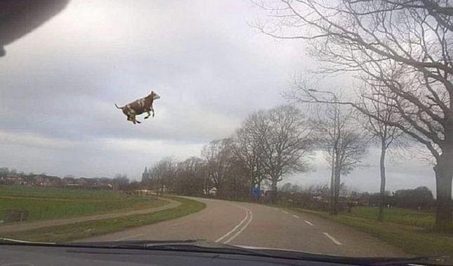 Dünya bu kareye kilitlendi: Uçan inek!
