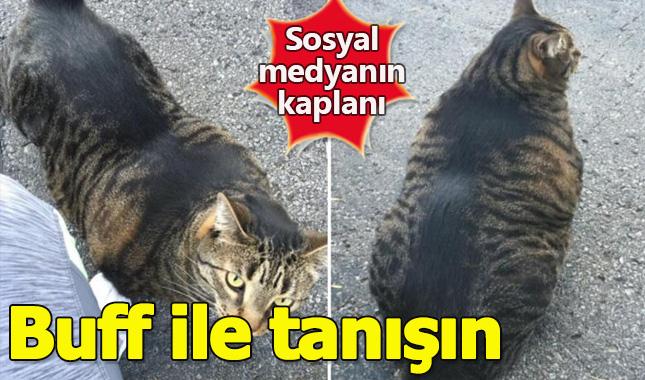 Sosyal medyanın en iri ve kaslı kedisi Buff ile tanışın A24