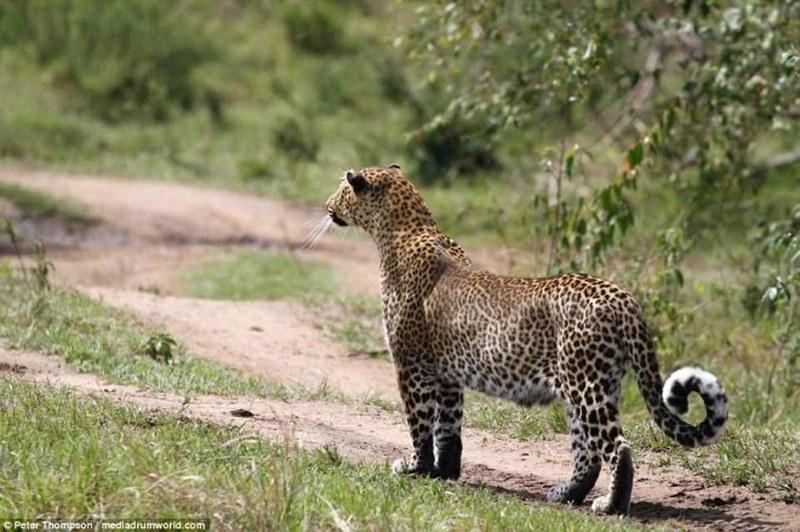 Hamile leopar ile yaban domuzu arasındaki büyük savaş A24